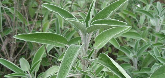 صورة عشبة الميرمية , اهم فوائد عشبة الميرمية
