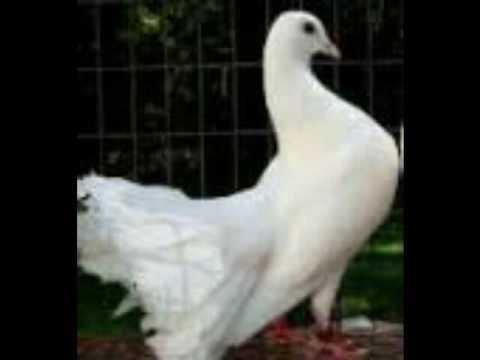 صورة صور حمام , اجمل صور للطيور