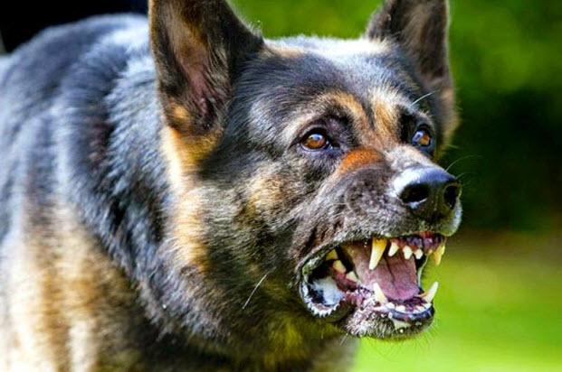 صورة اخطر انواع الكلاب , تعرف على اخطر انواع الكلاب