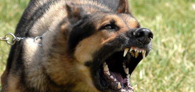 صور اشرس انواع الكلاب , صور اشرس انواع الكلاب فى العالم