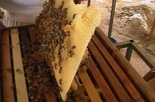 صورة تربية النحل , كيف تربى النحل