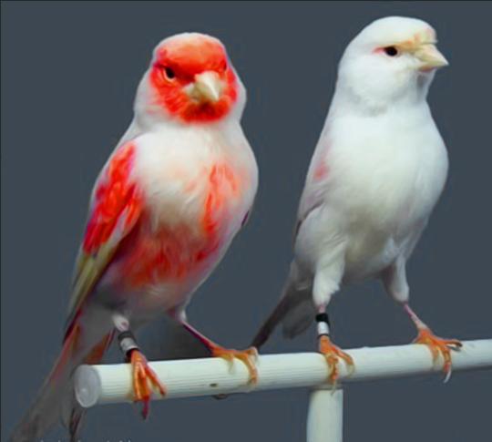 صورة اجمل كناري في العالم , صور عصافير كناري