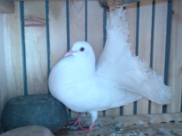 صورة حمام هزاز , رمزيات لطائر الشقلابز الجميل