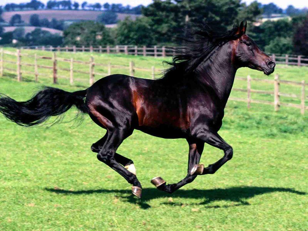 صورة خيول عربية , اجمل صور خيل عربي