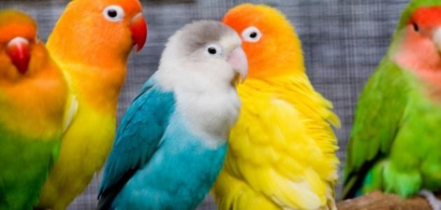 صورة عصافير الزينة , اجمل عصافير الزينه
