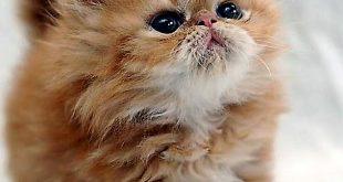 صور قطط شيرازى , اجمل صور للقطط الشيرازي