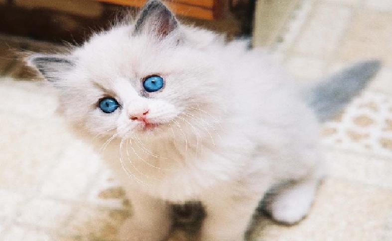 صورة قطط شيرازى , اجمل صور للقطط الشيرازي