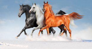 صورة صور خيول , الخيول الجميلة والعربية الاصيلة