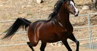 صورة خيول عربية اصيلة , اجمل خيول العالم