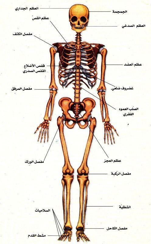 صورة صور جسم الانسان , اية من ايات ابداع الله