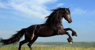 صورة اجمل خيول في العالم , الخيول العربية الاصيلة