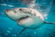 صور صور سمك القرش , اكثر سمك مفترس