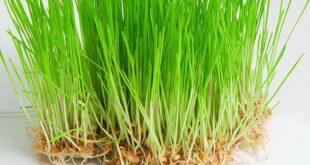 صورة عشبة القمح , تعرف على عشبة القمح وفوائدها للانسان