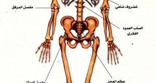 صورة جسم الانسان بالصور , شرح تفصيلي لجسم الانسان