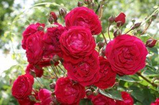 صورة شعر عن الورد , اجمل انواع الورد وما قيل فيها من شعر