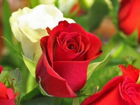 صورة صور اجمل الورود , الورود الاروع بالصور الاجمل