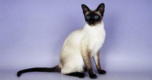 صورة قطط سيامي , معلومات لا تعرفها عن القطط السيامي