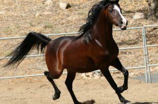 صورة خيول عربية , شاهد جمال الخيل العربي الاصيل