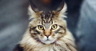 صور خلفيات قطط , حيوانات لا تفارق الانسان وحكايه القطط