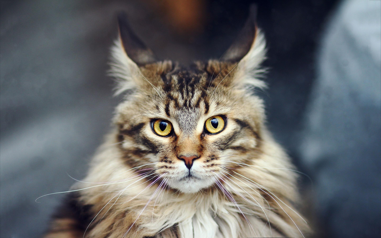صورة خلفيات قطط , حيوانات لا تفارق الانسان وحكايه القطط